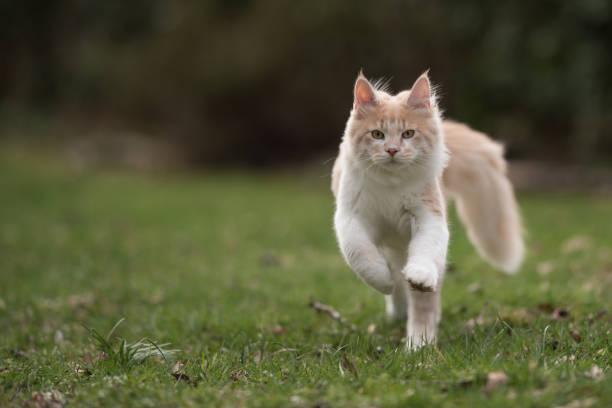 Maine coon cat picture id1152207432?b=1&k=6&m=1152207432&s=612x612&w=0&h=ktwufb2ih1cv1duyyzdwgbuzkchw5e6jwi44ne7n2l0=