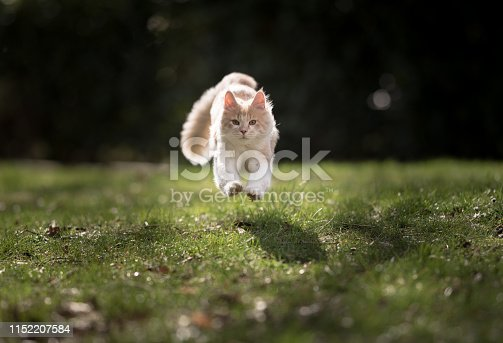 front view of a  cream colored beige white maine coon kitten jumping over the lawn towards camera looking at it in the sunlight
