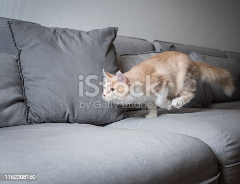 cream colored beige white maine coon kitten running over a gray sofa