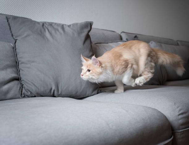 Maine coon cat picture id1152208150?b=1&k=6&m=1152208150&s=612x612&w=0&h=wcp9eepp8le m5wyh5gshvcwn8tdtdeqisqzke40q2i=