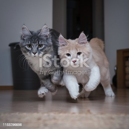 front view of two playful maine coon kittens running towards camera next to each other