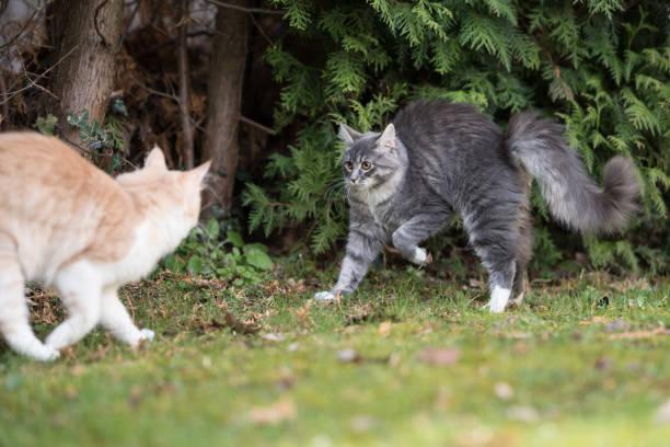 maine coon katze - grau getigerte katzen stock-fotos und bilder