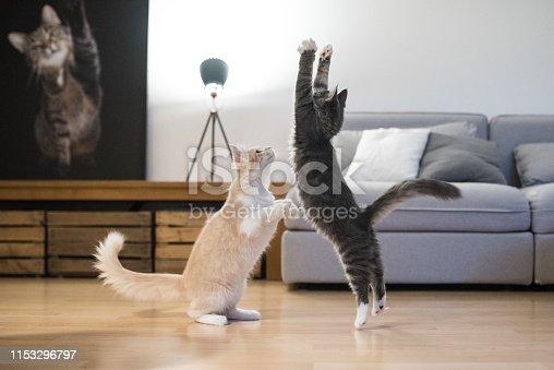 istock maine coon cat 1153296797