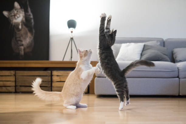 mer från maine coon cat - kattdjur bildbanksfoton och bilder