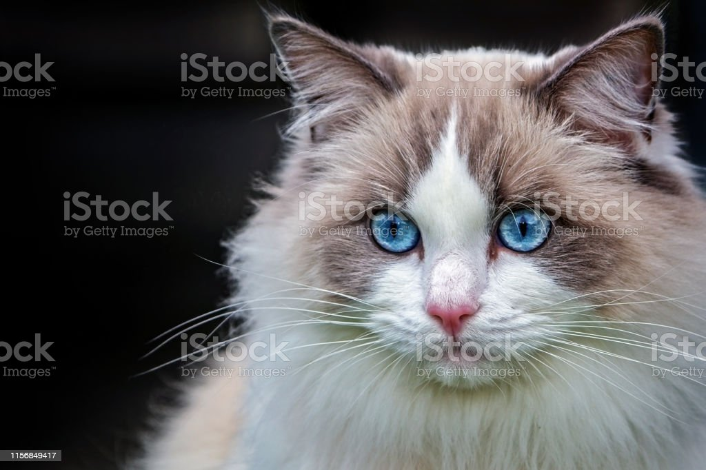 Maine Coon cat - Royalty-free Animal Stock Photo