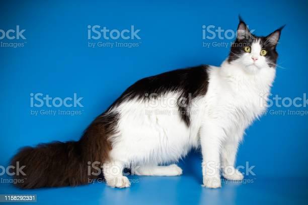 Maine coon cat picture id1158292331?b=1&k=6&m=1158292331&s=612x612&h=davjgv2xc6pjod2c2freaihanayb0yiafhbwm2 vpma=