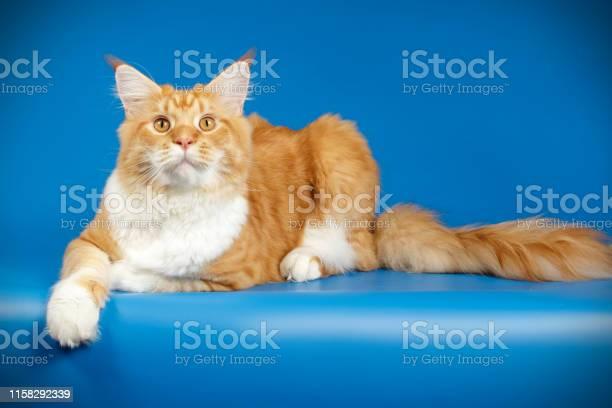 Maine coon cat picture id1158292339?b=1&k=6&m=1158292339&s=612x612&h=rv4yxemenb dbgh7uc49ewqpdqi7sw7aonkmicegfjq=