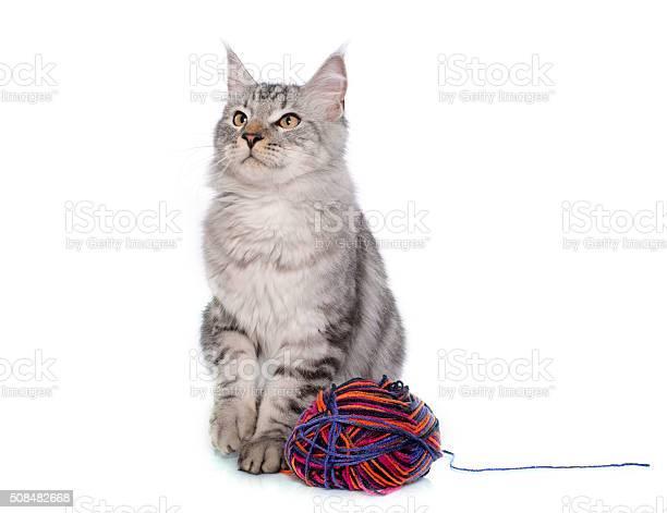 Maine coon cat picture id508482668?b=1&k=6&m=508482668&s=612x612&h=4wdoy6c1pwnraodf63yenbdiqag cxd9g5m1hclc9rk=