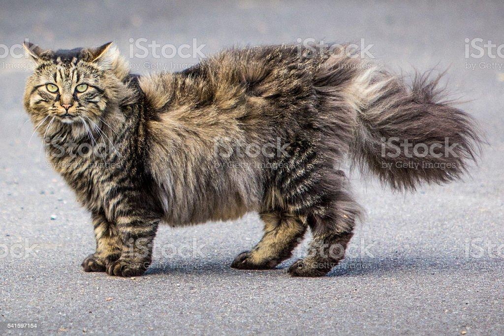chat maine coon photos et plus d 39 images de animaux de compagnie istock. Black Bedroom Furniture Sets. Home Design Ideas