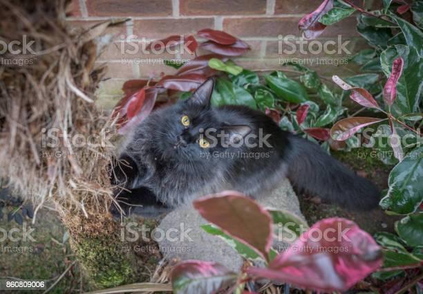 Maine coon cat picture id860809006?b=1&k=6&m=860809006&s=612x612&h=qx plbr e3q2lhvrqw6q92calumkkhki ynjtuz yoy=