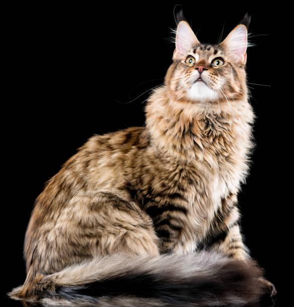 Maine coon cat picture id924896064?b=1&k=6&m=924896064&s=612x612&w=0&h=h y5mc9zwfcfxdrryqybatiiv3pkhdfm6rmxjtrwmva=