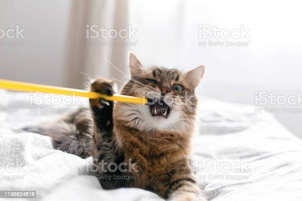 Maine coon cat playing and biting toy on white bed in sunny stylish picture id1156634818?b=1&k=6&m=1156634818&s=612x612&h=zetr98b97slbptvsrmo lc byueymdas8g9bvoybpas=