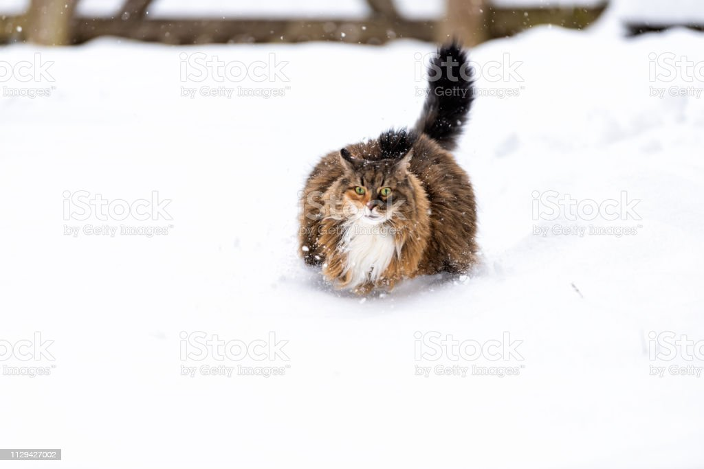 Maine coon cat running unhappy meowing outside outdoors in backyard during snow snowing snowstorm with snowflakes by wooden fence in garden on lawn stock photo
