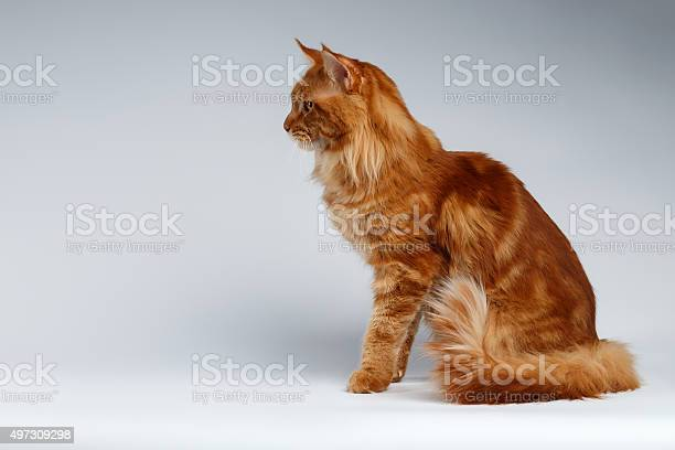 Maine coon cat sits in profile view on white picture id497309298?b=1&k=6&m=497309298&s=612x612&h=3bxxmnnuncwhs0ve9ig9bq4po pyfanm2b7pnfyg12g=