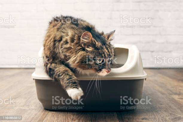 Maine coon cat using the litter box picture id1164853312?b=1&k=6&m=1164853312&s=612x612&h= oaqtfnfno0bvlmkqbpcjn9pyoejtrprkktty trpbm=