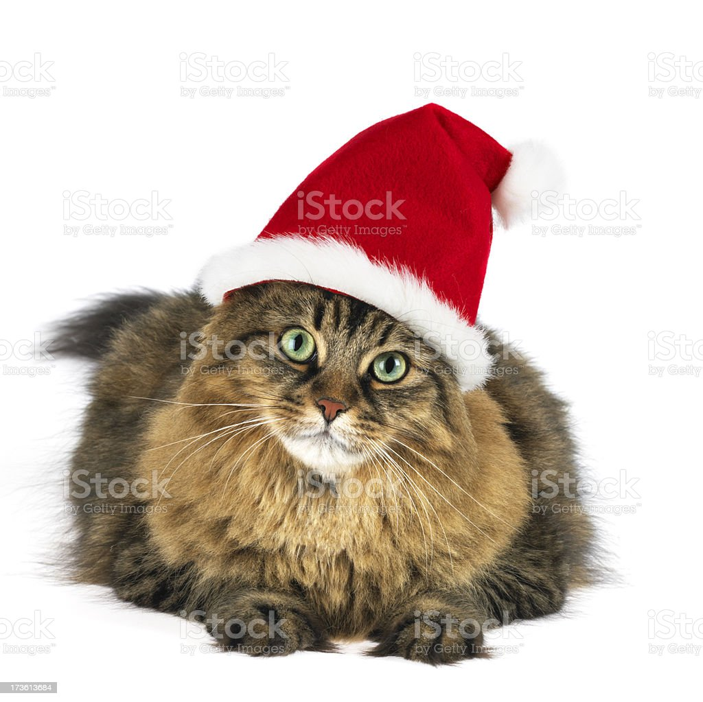 Maine coon cat wearing santa clause hat royalty-free stock photo