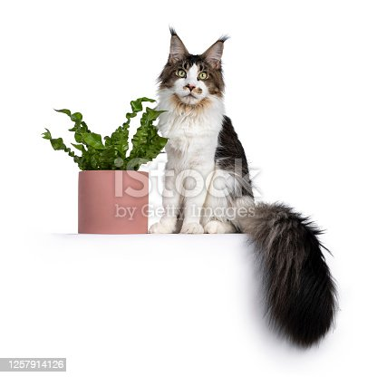 Handsome Maine Coon cat sitting  beside green plant in pink pot, looking towards camera. Isolated on white background. Tail hanging down.