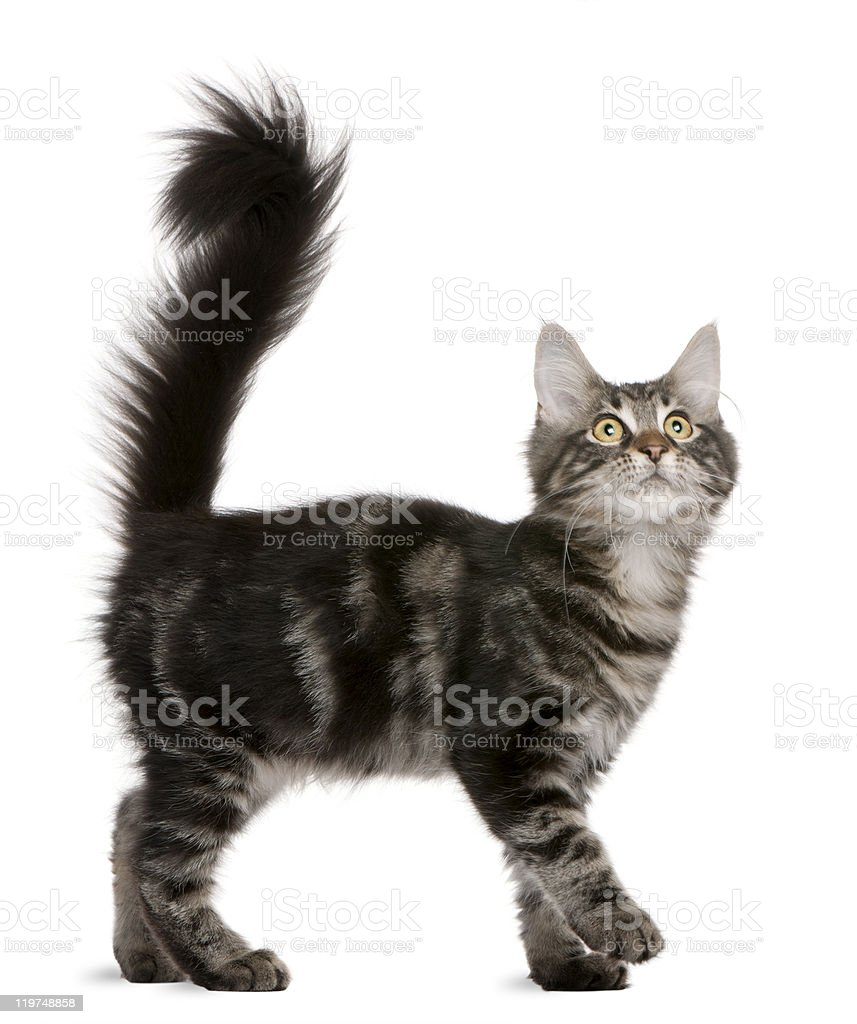 Maine Coon kitten, 4 months old, looking up, white background. stock photo