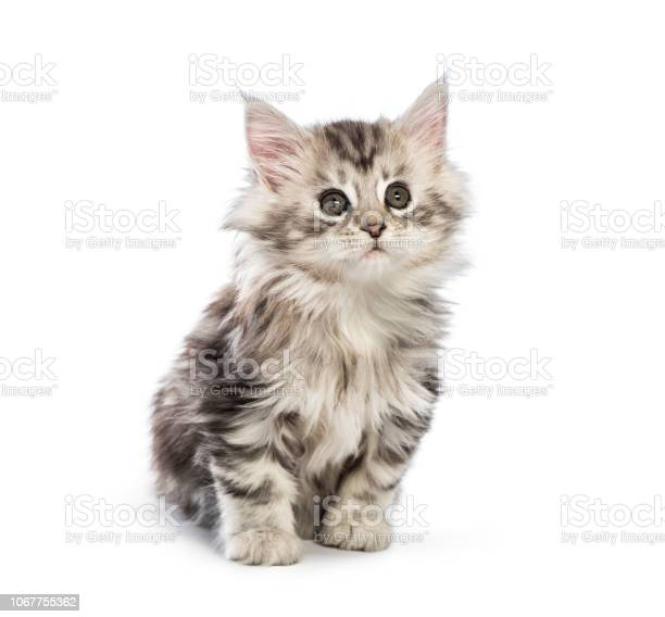 Maine coon kitten 8 weeks old in front of white background picture id1067755362?b=1&k=6&m=1067755362&s=612x612&h=zjz15 tgemvt43emujgqjcf9yxeijnnbgqgkx2wxogo=
