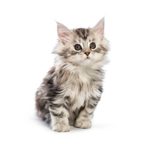 Maine coon kitten 8 weeks old in front of white background picture id1067755362?b=1&k=6&m=1067755362&s=612x612&w=0&h=bl12c3xxj yl4z nkektbfphdmpeqmbhkgqcf14qnoa=
