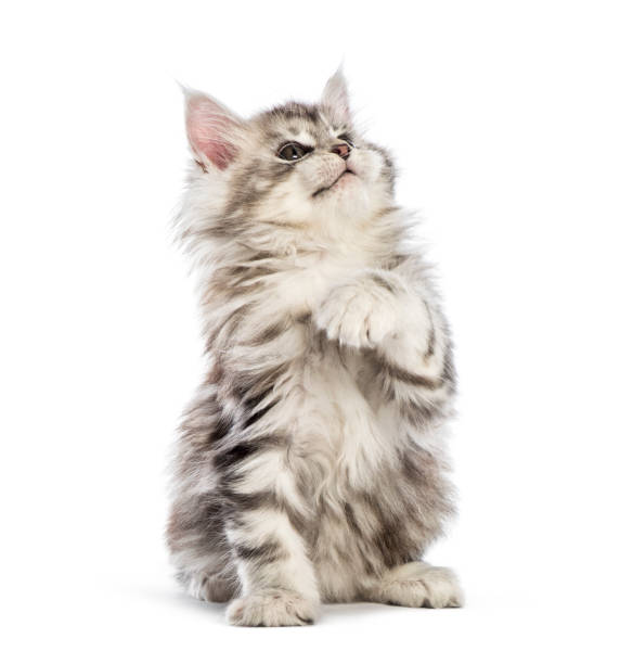 Maine coon kitten 8 weeks old in front of white background picture id1067755456?b=1&k=6&m=1067755456&s=612x612&w=0&h=ofdjmulko8hsnddxld7cjq0crytxzsv5av5fkd vywo=