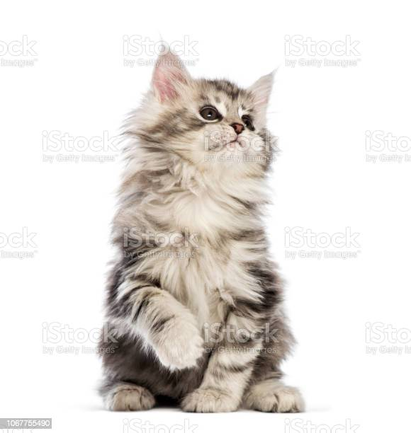 Maine coon kitten 8 weeks old in front of white background picture id1067755490?b=1&k=6&m=1067755490&s=612x612&h=g5 fg2yb0gqhdws43bjjwe6cjx6ulowkyopvwpggdno=