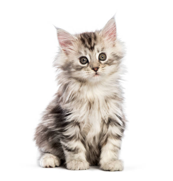 Maine coon kitten 8 weeks old in front of white background picture id1069546908?b=1&k=6&m=1069546908&s=612x612&w=0&h=xdc8a4rbjcvayynfulkrhchiskdhkggrbr5 il4jxxi=