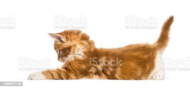 Maine coon kitten 8 weeks old in front of white background picture id1069547192?b=1&k=6&m=1069547192&s=612x612&h=f lcuoi6qcyup0zccf vm4xqv59ngrmwv63ldybs3hw=