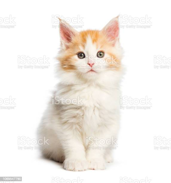 Maine coon kitten 8 weeks old in front of white background picture id1069547790?b=1&k=6&m=1069547790&s=612x612&h=fkjupsolfgzbpcy7aode7qdrbaypsca6x dsj wjc94=
