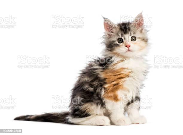 Maine coon kitten 8 weeks old in front of white background picture id1069547868?b=1&k=6&m=1069547868&s=612x612&h=sgyazhptdwvjup2xius6xglcmqn svbr9n6gx4akjtw=