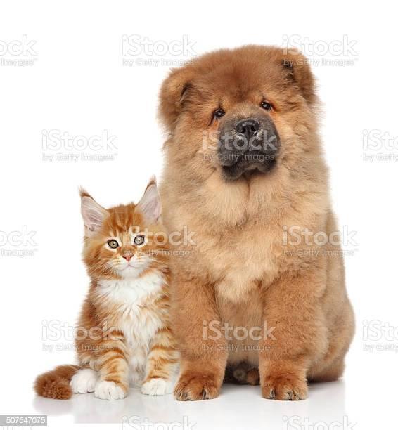 Maine coon kitten and chow chow puppy picture id507547075?b=1&k=6&m=507547075&s=612x612&h=jgflgl9xgdckbjjcrc6  qogz g9222kki8azyzvewu=