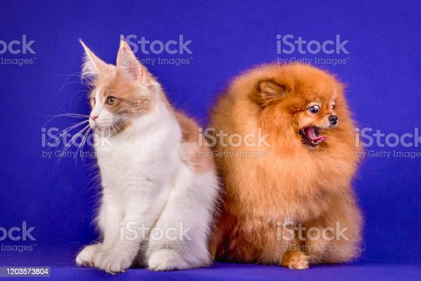 Maine coon kitten and pomeranian dog best friends on blue background picture id1203573804?b=1&k=6&m=1203573804&s=612x612&h=yxh9gjly7orcogaoe88swvrqsc4ha2s9giqrjobtkoa=