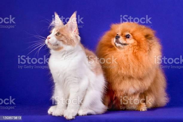 Maine coon kitten and pomeranian dog best friends on blue background picture id1203573813?b=1&k=6&m=1203573813&s=612x612&h=0rsbrnih67zj8oelszdbbb180ngohv1atlnmccjczew=