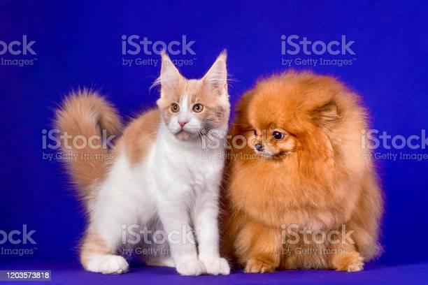 Maine coon kitten and pomeranian dog best friends on blue background picture id1203573818?b=1&k=6&m=1203573818&s=612x612&h=3vcuhb9utlpifzcdtj j3figrgo4cjfisqsh0ltuimu=