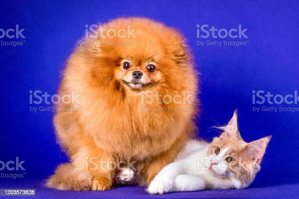 Maine coon kitten and pomeranian dog best friends on blue background picture id1203573828?b=1&k=6&m=1203573828&s=612x612&h=iw0qjws0zvrppnsawmmut6qje2wit3qnxzi14wtprrw=