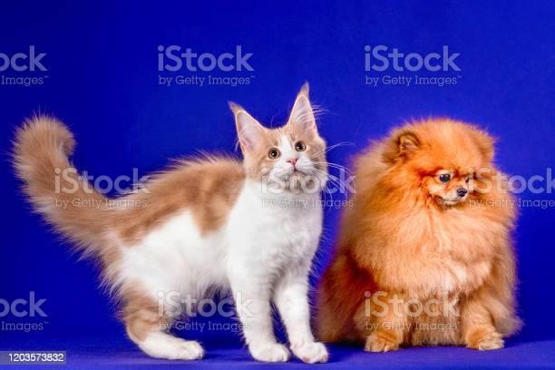 Maine coon kitten and pomeranian dog best friends on blue background picture id1203573832?b=1&k=6&m=1203573832&s=612x612&h=rhapq4igk kghvm64jbz 4iu9c4jz0rehsxzbyxiobw=