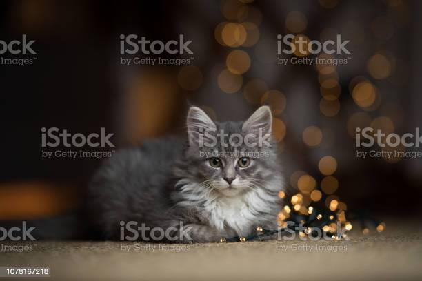 Maine coon kitten christmas portrait picture id1078167218?b=1&k=6&m=1078167218&s=612x612&h=fcc1fe7pb942pclqc1gmyvn7vazv9lwcnkzfd59f mm=
