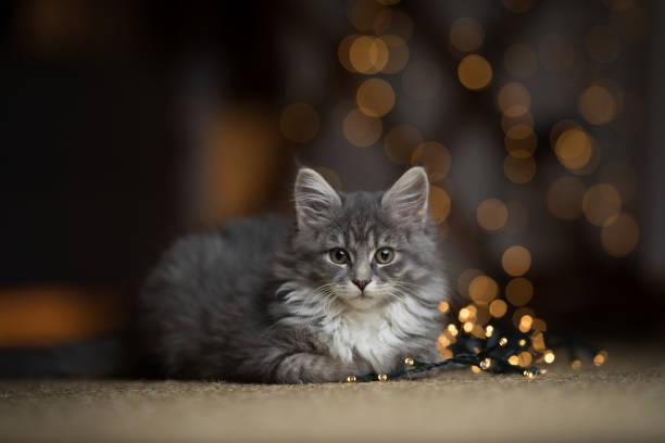 Maine coon kitten christmas portrait picture id1078167218?b=1&k=6&m=1078167218&s=612x612&w=0&h= 1vg 6zxhqom9iq8syjsqolrcfhj9lyiqbawwjfhi7a=