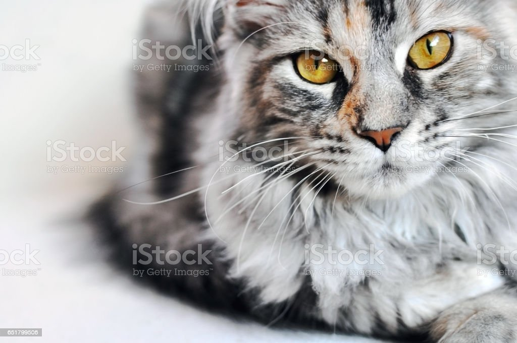 Maine Coon kitten girl with golden eyes. stock photo