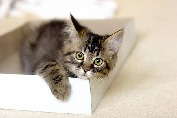 Maine coon kitten in a box picture id157188409?b=1&k=6&m=157188409&s=612x612&w=0&h=r9vamkn4hs7wh4k8wj3bouur3pidool8i9uvj1q8144=