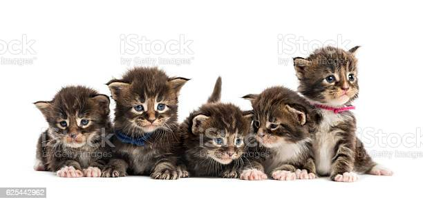 Maine coon kitten in a row isolated on white picture id625442962?b=1&k=6&m=625442962&s=612x612&h=k0kugdlqp61fdl5adlgpho 7 xpbtm xfsnk tjcyso=