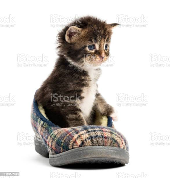 Maine coon kitten in a slipper isolated on white picture id823853908?b=1&k=6&m=823853908&s=612x612&h=orv618ytpooxkejgvle22f3ffsfbcbxzshramlb1 n0=
