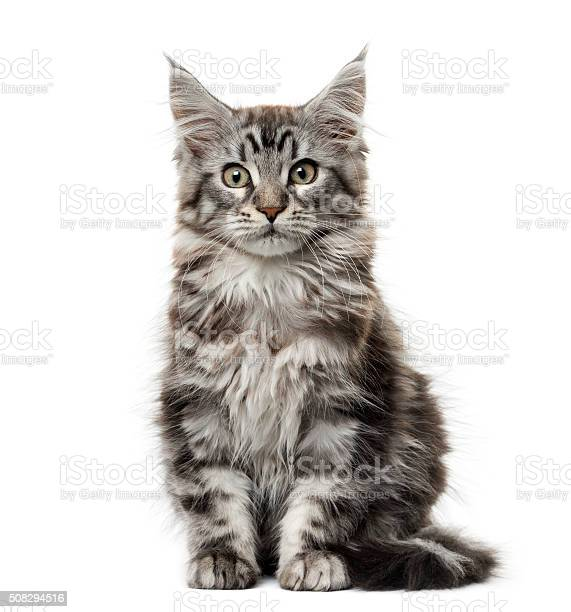 Maine coon kitten in front of white background picture id508294516?b=1&k=6&m=508294516&s=612x612&h=z2exs6usibxmddafpmjp1fnwrpgfyfvvyjlgggckguu=