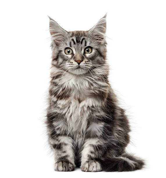 Persian Cat Wi White Background