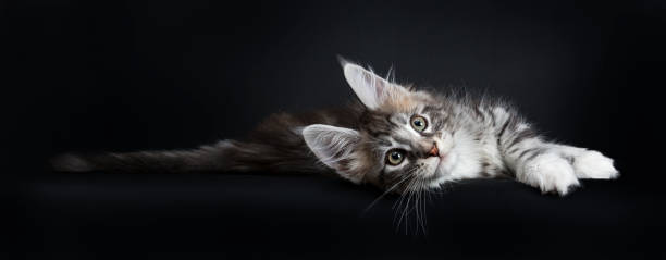 Maine coon kitten laying sitting isolated on black background picture id913470482?b=1&k=6&m=913470482&s=612x612&w=0&h=i4i3aw2eomkd7ejuw4ruo dg5079mxoeu6hjq frxwg=