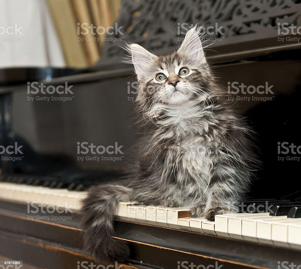 maine coon kitten on a piano royalty-free stock photo