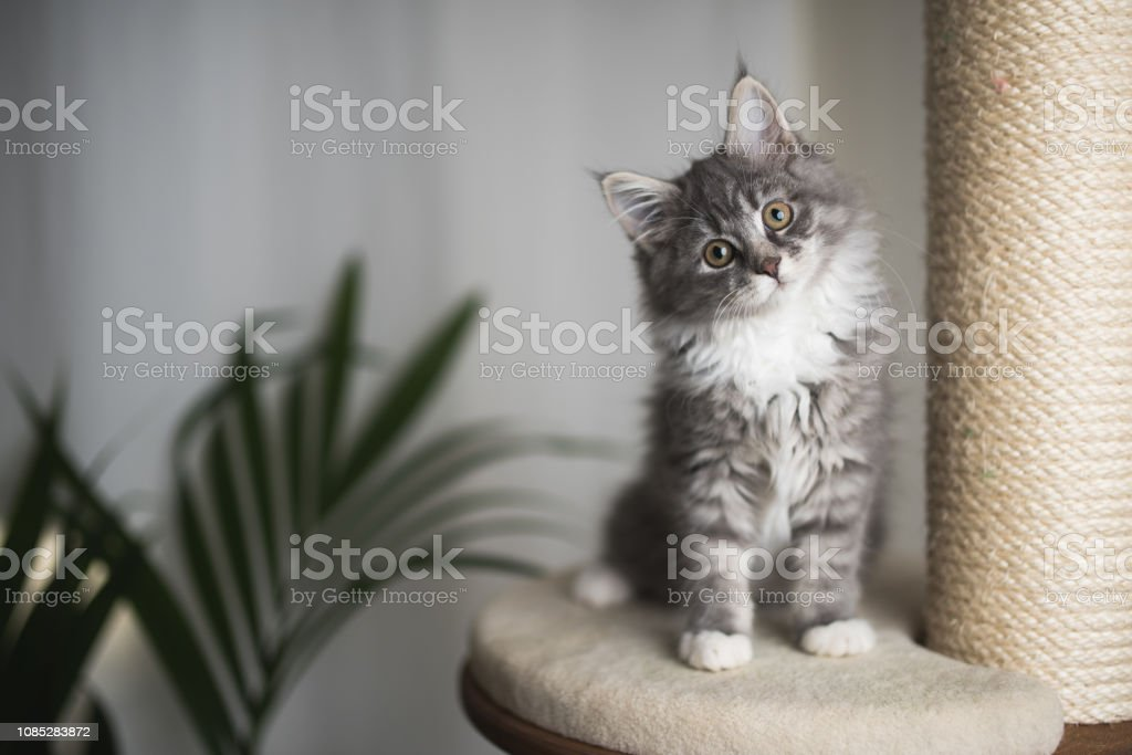 maine coon kitten on scratching post royalty-free stock photo