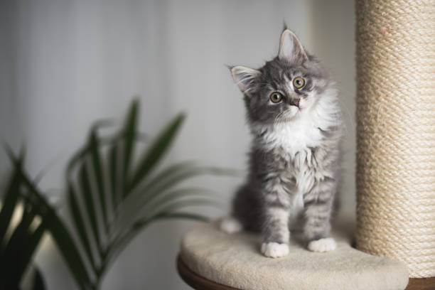Maine coon kitten on scratching post picture id1085283872?b=1&k=6&m=1085283872&s=612x612&w=0&h=ragf4dtabpbxd6ojfhtxqpns5oz2em87gmeel7cwbfg=