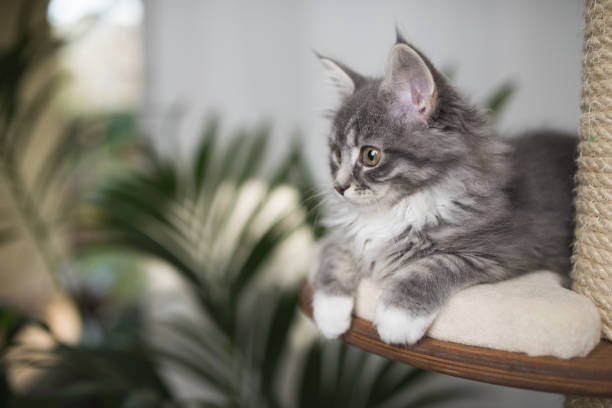 maine coon kitten auf kratzbaum - grau getigerte katzen stock-fotos und bilder