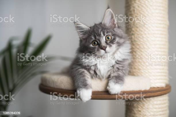 Maine coon kitten on scratching post picture id1085284026?b=1&k=6&m=1085284026&s=612x612&h=05nvpjimiqjdfwkcycnrwli m1fiuupmmykukduxoy8=